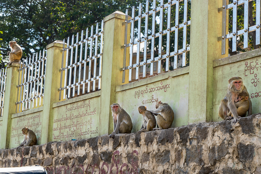 Mount Popa Gate Monkeys