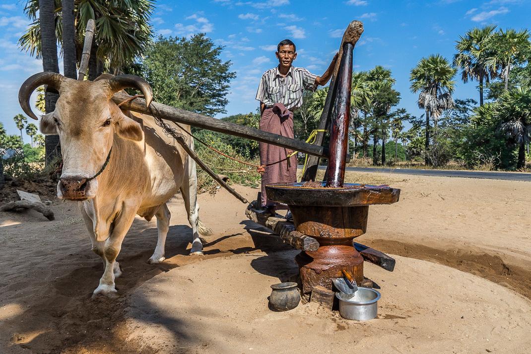 Myanmar Farm Ox Grinding