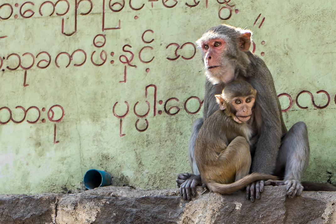 Baby Monkey Hugging Mother