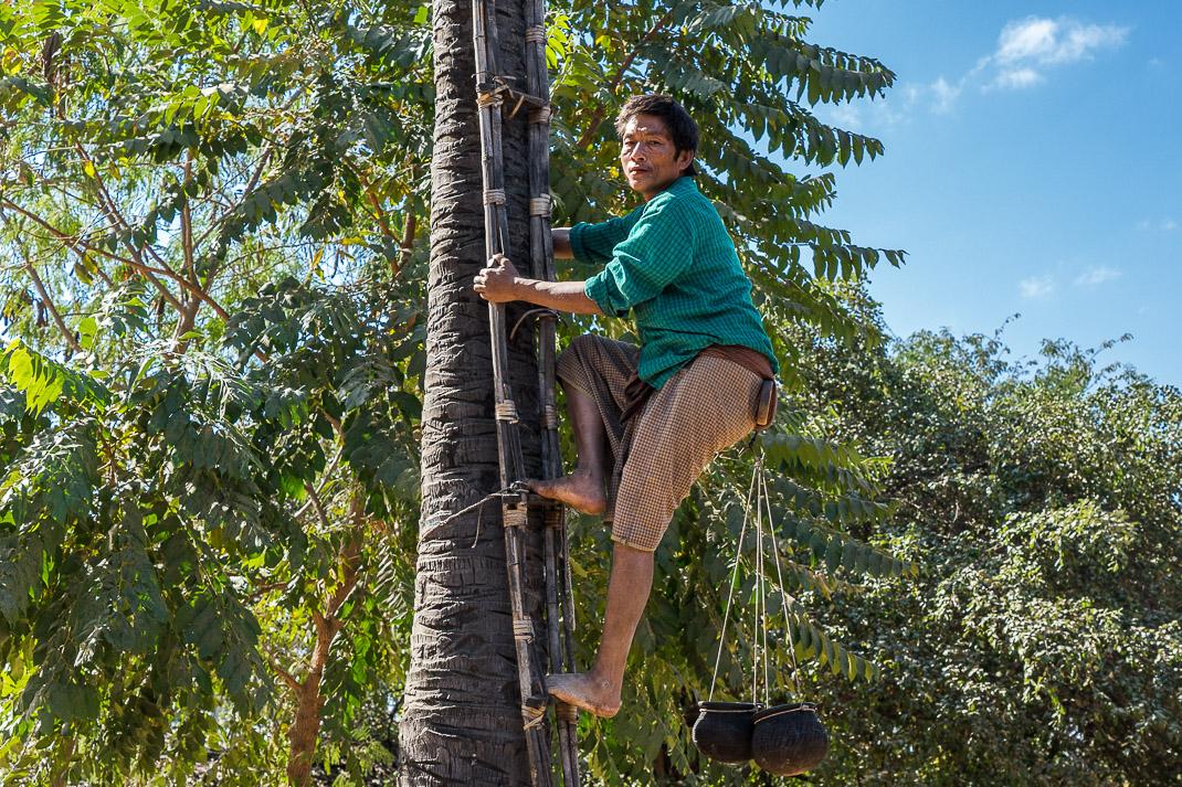 Myanmar Farm Farmer Climbing
